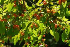 Manzanas de cangrejo Fotos de archivo