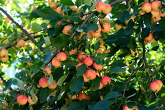 Manzanas de cangrejo Foto de archivo