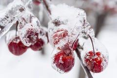 Manzanas de cangrejo congeladas en rama nevosa Fotos de archivo libres de regalías
