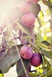 Manzanas de cangrejo en árbol Imagen de archivo