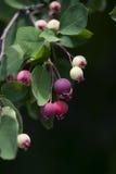 Manzanas de cangrejo rosadas y blancas Imagen de archivo