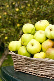 Manzanas de cocinar recolectadas en otoño Imagen de archivo