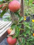 Manzanas de cosecha propia orgánicas Foto de archivo libre de regalías