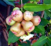 Manzanas de la cera o frutas frescas de Bell en un árbol Imagen de archivo