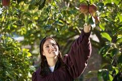Manzanas de la cosecha imagen de archivo libre de regalías