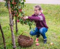 Manzanas de la cosecha de la chica joven Foto de archivo libre de regalías