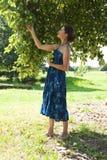 Manzanas de la cosecha de la mujer Imagen de archivo