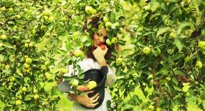 Manzanas de la cosecha de la mujer Imagenes de archivo