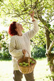 Manzanas de la cosecha de la mujer del árbol Fotografía de archivo