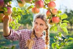 Manzanas de la cosecha de la mujer joven del manzano en una suma soleada preciosa Fotografía de archivo libre de regalías