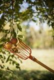 Manzanas de la cosecha del árbol Imagen de archivo