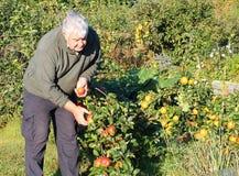 Manzanas de la cosecha del hombre en una huerta. Foto de archivo libre de regalías