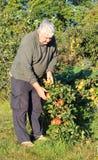 Manzanas de la cosecha del hombre en una huerta. Fotografía de archivo libre de regalías