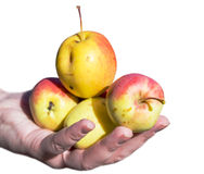 Manzanas de la cosecha del hombre mayor en su huerta Él que examina la producción de la manzana mientras que sostiene el cajón co Fotografía de archivo