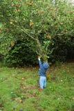 Manzanas de la cosecha del niño Imagen de archivo