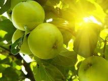 Manzanas de la fruta en un árbol Imágenes de archivo libres de regalías