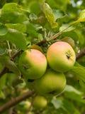 Manzanas de la fruta en un árbol Imagen de archivo libre de regalías
