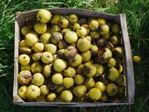 Manzanas de la ganancia inesperada imagenes de archivo