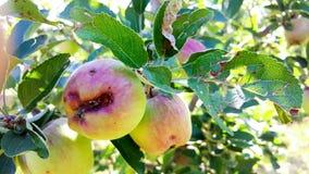manzanas de maduración dañadas por las piedras del saludo Fotografía de archivo libre de regalías