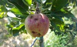 manzanas de maduración dañadas por las piedras del saludo Foto de archivo