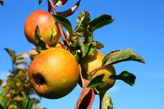 Manzanas de oro del jengibre Foto de archivo libre de regalías