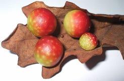 Manzanas de roble Imágenes de archivo libres de regalías