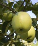 Manzanas de Strobist Foto de archivo libre de regalías