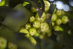 Manzanas de Visayas, Filipinas de la montaña imagen de archivo libre de regalías