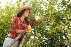 Manzanas del amarillo de la mujer joven en una huerta Imagenes de archivo