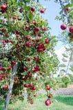 Manzanas del escarlata Fotos de archivo