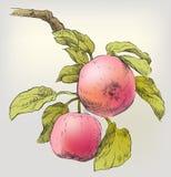 Manzanas del gráfico de la mano en la ramificación de árbol Imagen de archivo