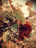 Manzanas del gusano Foto de archivo libre de regalías