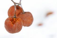 Manzanas del invierno Fotos de archivo libres de regalías