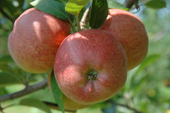 Manzanas del rojo del árbol fotos de archivo libres de regalías
