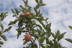 Manzanas delante del cielo Foto de archivo