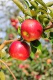 Manzanas deliciosas brillantes Fotos de archivo libres de regalías