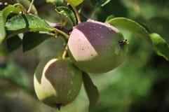 Manzanas después de la lluvia Foto de archivo libre de regalías