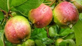 Manzanas después de la lluvia en Bielorrusia fotos de archivo