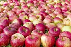 Manzanas dulces rojas en la hierba Imágenes de archivo libres de regalías