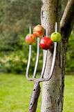 Manzanas empaladas en las forkes Imagenes de archivo