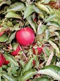Manzanas en árbol imagen de archivo libre de regalías