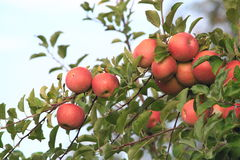 Manzanas en árbol Fotografía de archivo libre de regalías