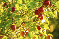 Manzanas en árbol. Imagenes de archivo