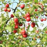 Manzanas en árbol Fotos de archivo