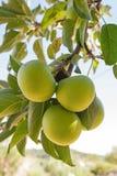 - Manzanas en Arbol Stock Image