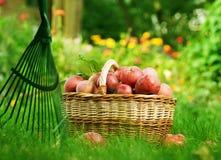 Manzanas en cesta Imagen de archivo