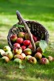 Manzanas en cesta Imagenes de archivo