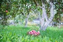 Manzanas en cesta Fotos de archivo libres de regalías