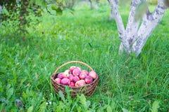 Manzanas en cesta Imagen de archivo libre de regalías