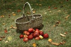 Manzanas en cesta en el jardín Foto de archivo libre de regalías